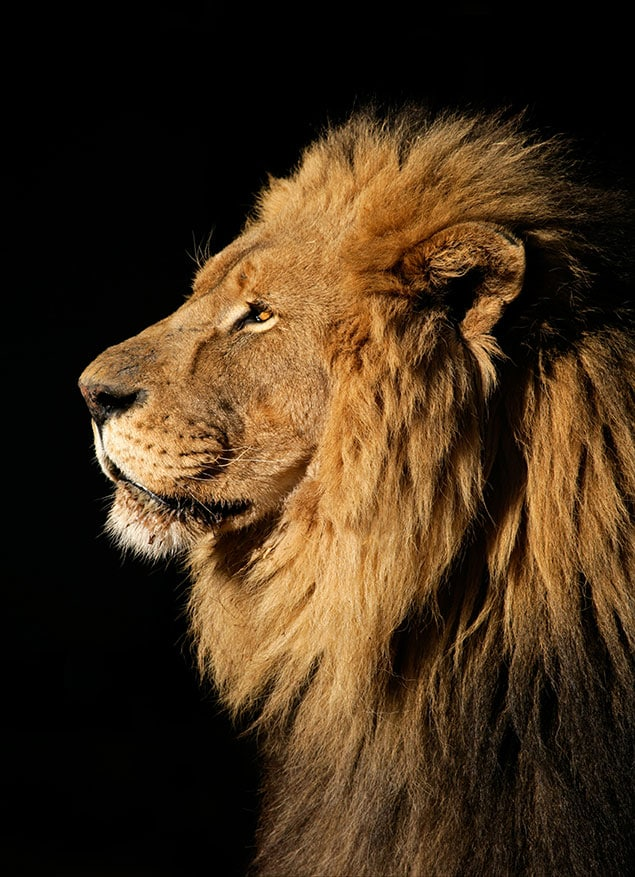 lion-black-background